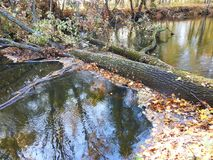 Oak tree fell to the river, Lithuania Stock Images