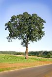 Oak Tree in a Field Stock Photo