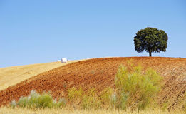Oak tree  in a field , Alentejo Stock Images