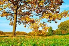 Oak tree in the field in autumn - bright sunny landscape Stock Photos