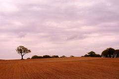 Oak tree in field with cloudy sky Stock Image