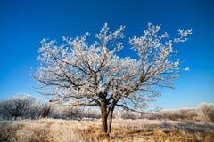 Oak tree in the field Royalty Free Stock Photo