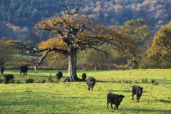 Oak tree in field Stock Images