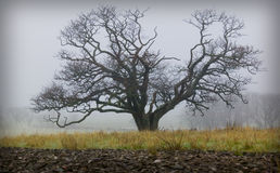 Oak tree on a field.GN Royalty Free Stock Image