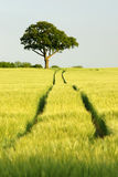 Oak tree in field of green corn with blue sky. With tracks in the field leading away to the horizon Royalty Free Stock Photos
