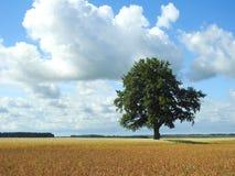 Oak tree in field, Lithuania Royalty Free Stock Photography