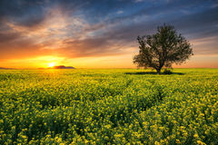 Oak tree in field of rape Stock Image