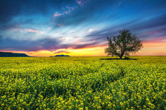 Oak tree in field of rape Royalty Free Stock Images