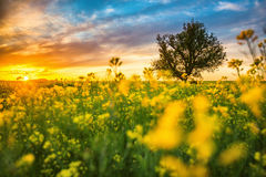 Oak tree in field of rape Royalty Free Stock Photography