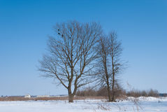 Oak tree in a field of snow in winter with a flock of birds, aga. Inst a blue sky royalty free stock photo