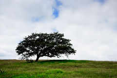 Oak Tree. In field under mostly cloudy sky Royalty Free Stock Photo