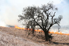 Oak tree and fire. A brush fire approaches an oak tree Stock Photo