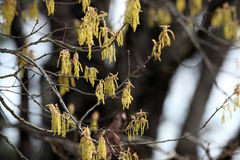 Oak Tree Catkins Spring Pollen Royalty Free Stock Image