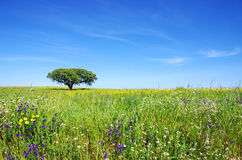 Oak tree at flowery field Royalty Free Stock Photos