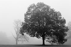 Oak tree in fog Stock Image