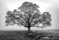 Oak tree in the fog stock image