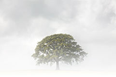 Oak Tree on a Foggy Day Royalty Free Stock Photos