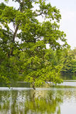 Oak tree foliage. Old oak tree with green foliage and leaves above water lake, natural spring park  background Stock Image