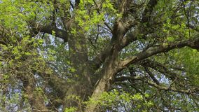 Oak tree. Footage of wind blowing through branches of oak tree stock video