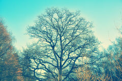 Oak tree in the forest. Oak tree in the spring forest Royalty Free Stock Photography