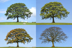 Free Oak Tree Four Seasons Royalty Free Stock Photo - 8049605