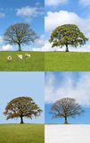 Oak Tree in Four Seasons Stock Image