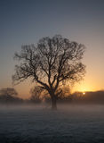 Oak tree in the frost at sunrise. Winter sunrise scene dominated by a large oak tree and frosty ground with the sun rising behind Royalty Free Stock Photo