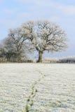 Oak tree on a frosty day. Footprints across a frosty field leading away from an oak tree Stock Photos