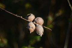 Oak tree galls Royalty Free Stock Images