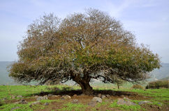 Oak tree, Golan Heights in Israel Stock Photo
