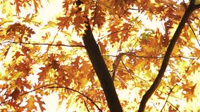 Oak tree with golden autumn leaves. Tree against white sky background stock footage