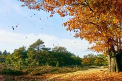 Oak tree with golden yellow falling leaves. In an autumn forest and blue sky royalty free stock image