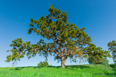 Oak tree on a grassy hill in field Stock Images