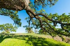 Oak tree on a grassy hill in field Stock Photos