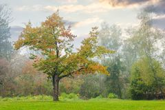 Oak tree on the grassy park meadow. Lovely foggy autumn nature scenery Royalty Free Stock Photo