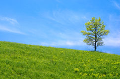 Oak tree in the grassy plain Stock Image