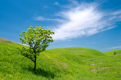 Oak tree in the grassy plain Royalty Free Stock Photo