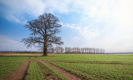 Oak tree on a green crop field Royalty Free Stock Photos