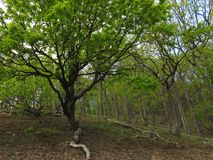 Oak tree in the green forest Royalty Free Stock Photos