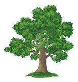 Oak tree and green grass. Oak tree with leaves and green grass, isolated on white background. Vector Stock Photography