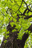 Oak tree with green leaves Stock Photos