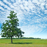 Oak tree on a green meadow and sky Royalty Free Stock Photography