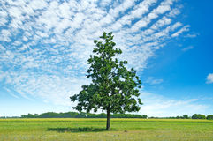 Oak tree on green meadow and sky with light clouds. Stock Image