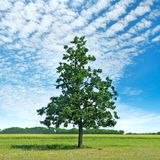 Oak tree on green meadow and sky. Oak tree on a green meadow and sky with light clouds. Agricultural landscape Stock Photo