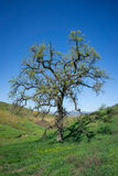 Oak Tree in Green Valley Stock Images