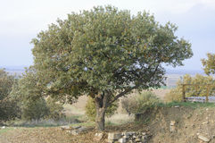 The Oak. Tree growing on the ruins of ancient city of Troy Royalty Free Stock Image