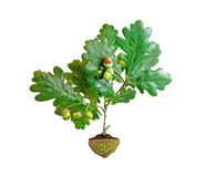 Oak tree growing from soil in acorn cup Stock Photography