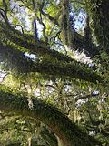 Oak tree with hanging moss in New Orleans Royalty Free Stock Images
