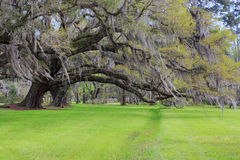 Oak Tree Hanging Moss Spring Green Grass South Carolina Royalty Free Stock Images