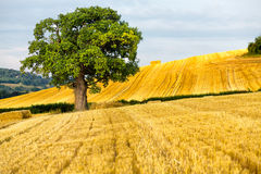 Oak tree and hay bales Royalty Free Stock Image